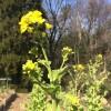 来年は菜の花を作ろう
