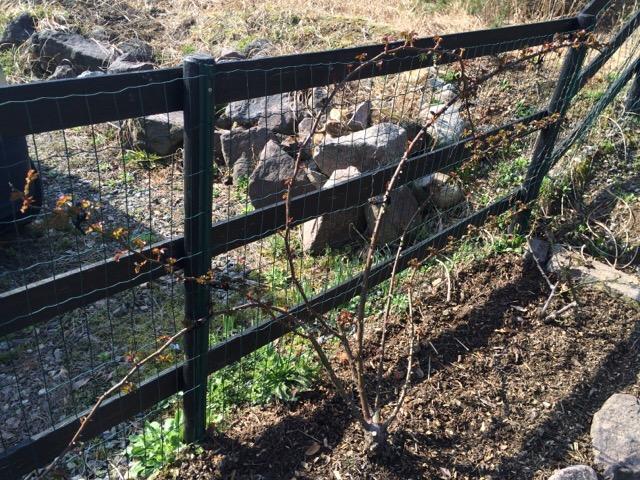 フェンスに這わせたバラ
