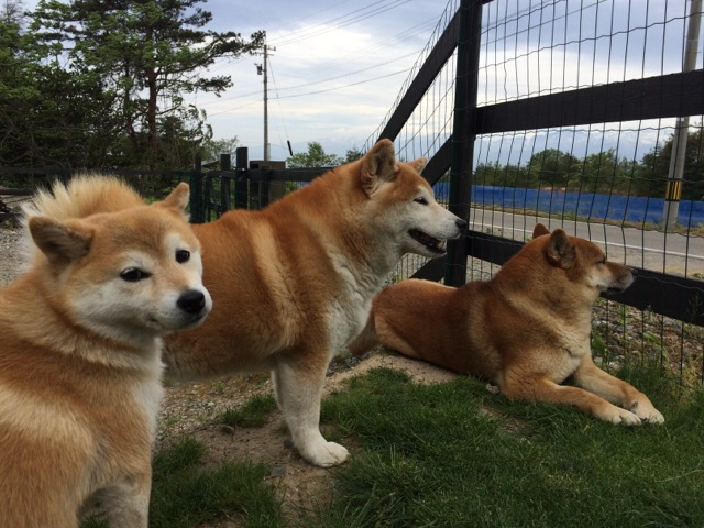 フェンスと犬たち