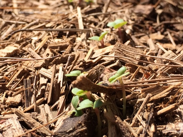 先日蒔いた種の芽