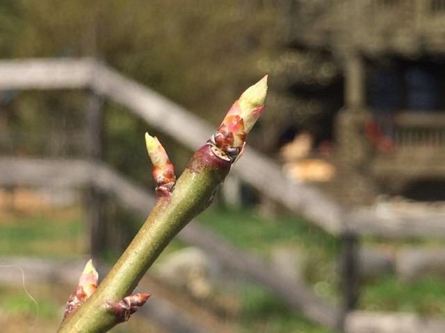 梅の苗木についた芽