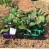 夏野菜の苗の植え付け