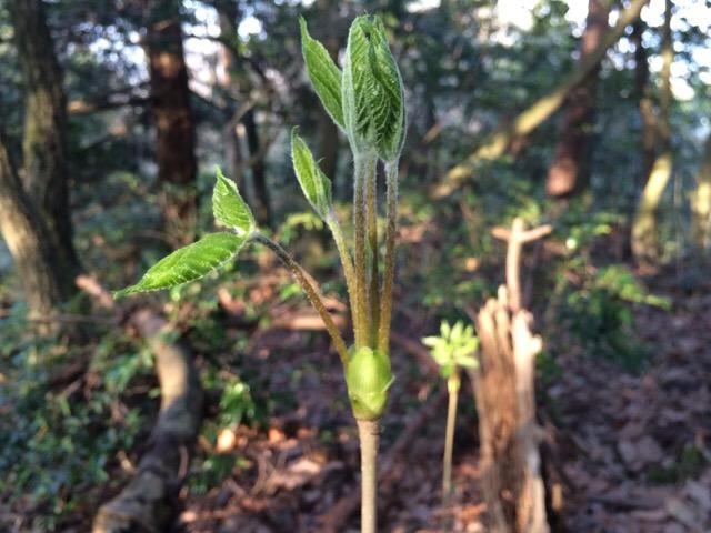 コシアブラの芽