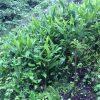 柿の木とミョウガ